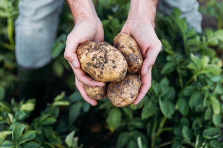 Можно ли есть почерневшую картошку