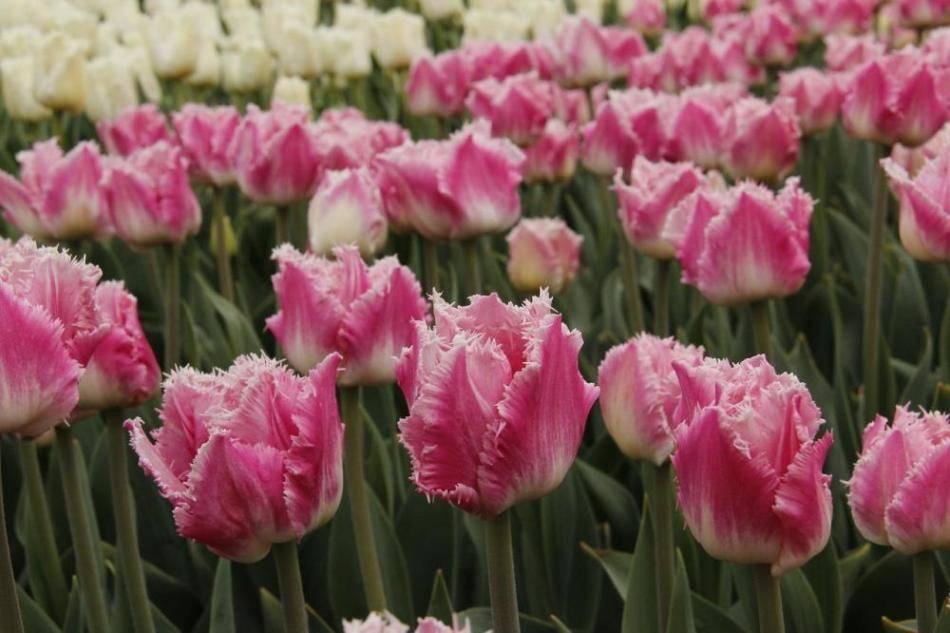 Сообщение о тюльпане 3 класс