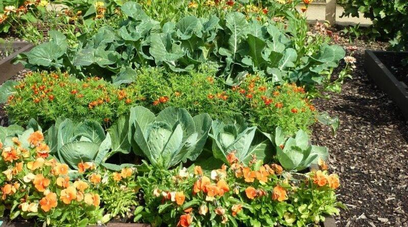Совмещенные посадки овощных культур фото