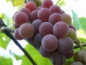 Вино из молдовы рецепт