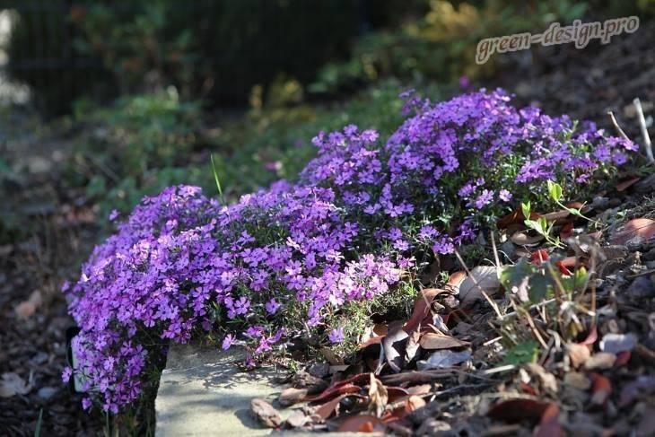 Фиолетовые цветы фото с названиями