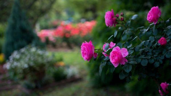 Укрывной материал для роз на зиму