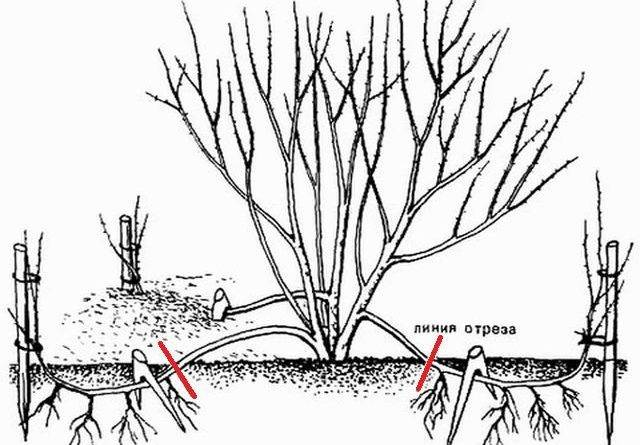 Сирень корневая система
