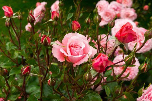 Температура хранения роз в холодильнике