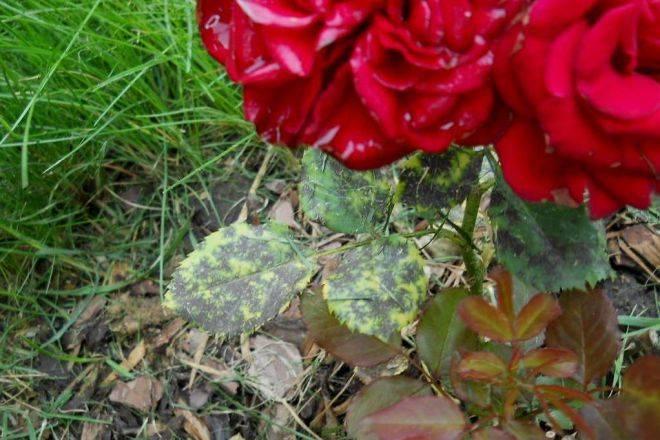 Роза кустовая садовая