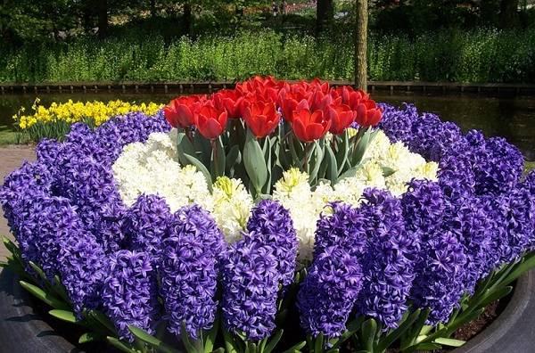 Схема посадки тюльпанов