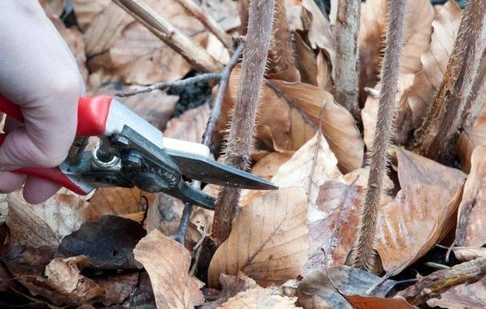 Как подготовить малину к зиме на урале