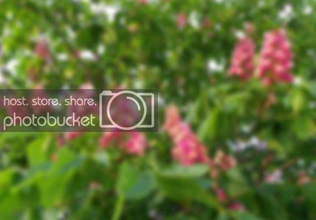 Дерево с розовыми цветами название фото