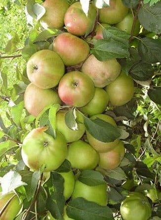 Сильная обрезка старых яблонь