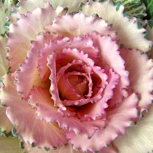 Цветок с маленькими розовыми цветочками