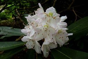 Рододендрон фото дерево