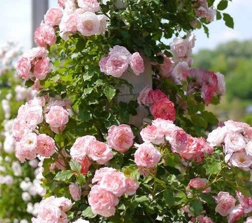 Очень длинные розы