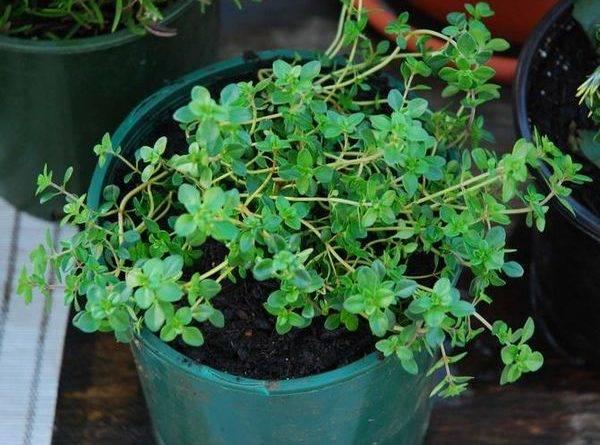 Тимьян уход и выращивание в саду