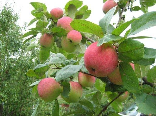 Яблоня осенние сорта описание фото