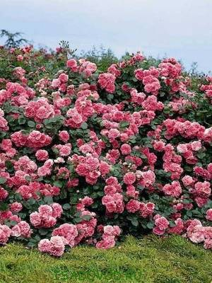 Садовые розы фото и названия