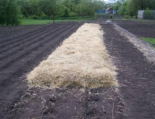 Озимая картошка