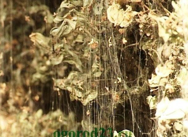 Самшит вечнозеленый посадка и уход