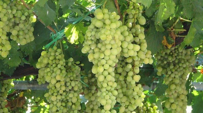 Как подготовить виноград к зиме видео