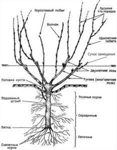 Виноград дерево или кустарник