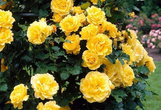 Роза голден шоуэрс плет желтая