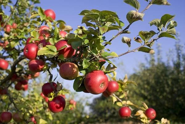 Макинтош яблоня фото
