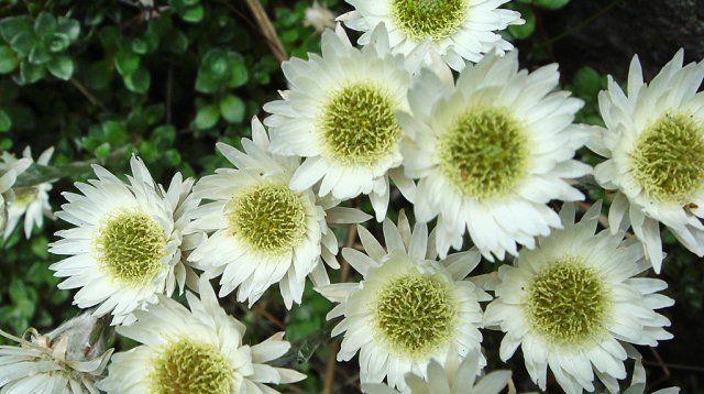 Цветы похожие на ромашки название и фото