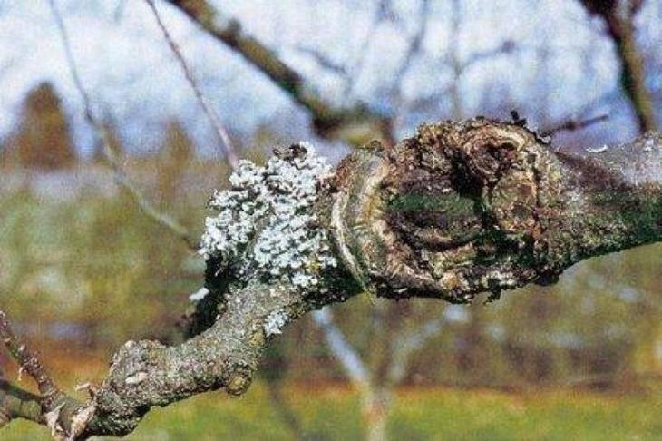 Хвороби кори молодих яблунь