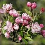 Когда зацветает яблоня
