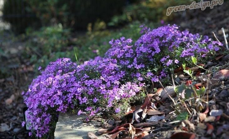 Как называется фиолетовый цветок