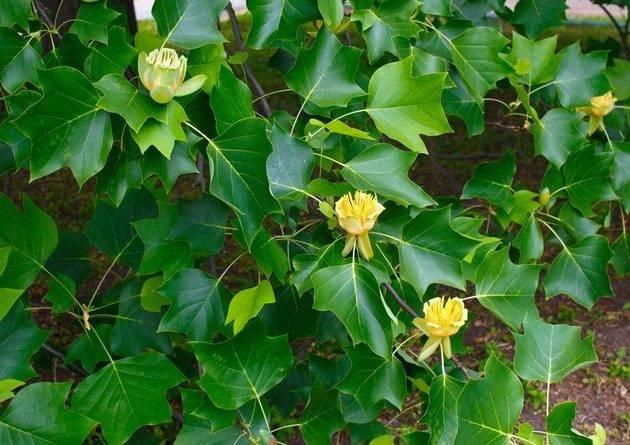 Тюльпанное дерево магнолия фото