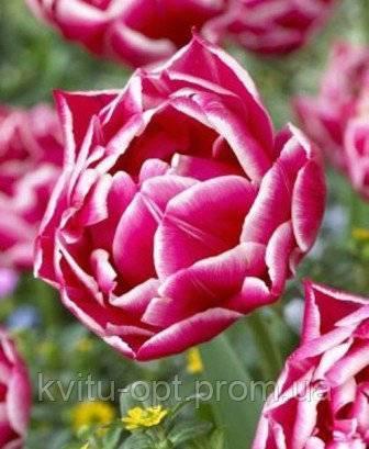 Тюльпан бьюти тренд фото