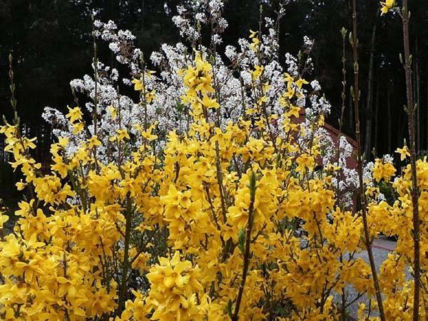 Дерево с желтыми цветами название