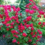 Уход за плетущейся розой