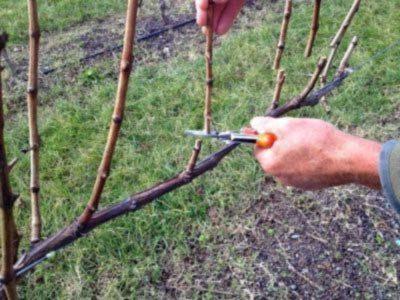 Формировка технических сортов винограда