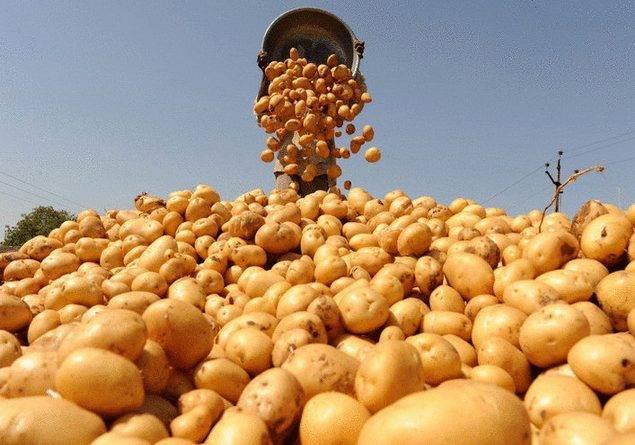 Сколько картофеля можно собрать с 1 сотки