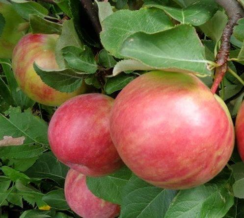 Яблоня первоуральское описание фото