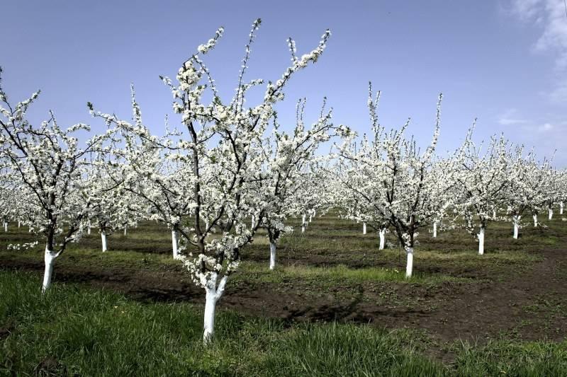Чем белить деревья весной