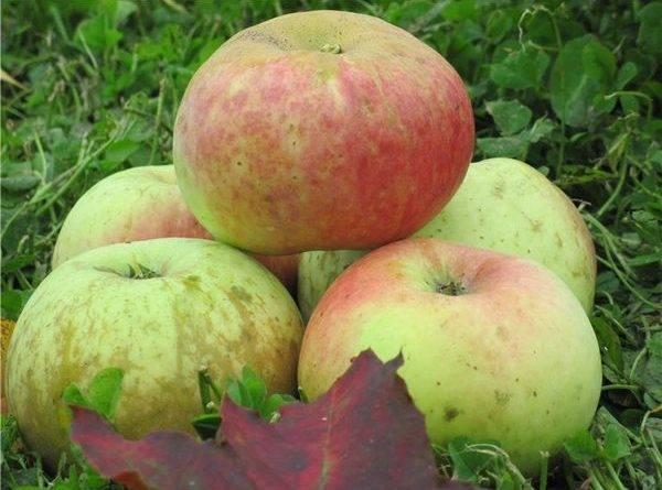 Старые сорта яблок с фото и описанием