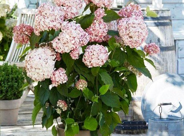 Гортензия розовая садовая фото