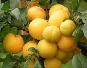 Алыча абрикосовая описание