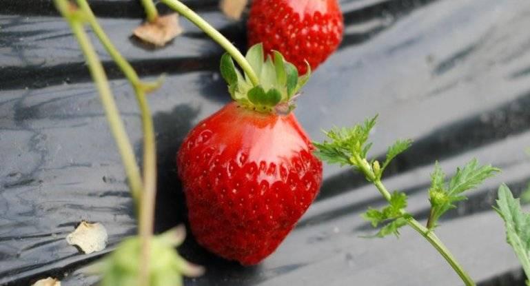 Как посадить землянику семенами