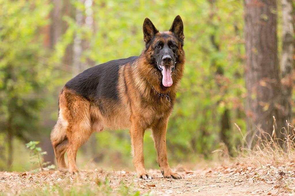 Лучшая охранная порода собак