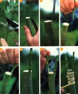 Как прививать яблоню осенью