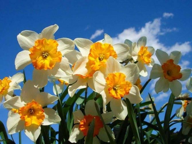Нарцисс махровый фото