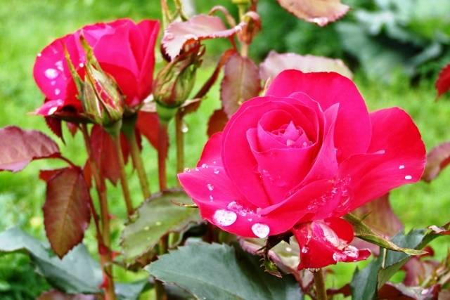Когда лучше обрезать розы на зиму