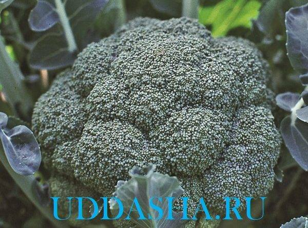 Выращивание капусты брокколи рассадным способом