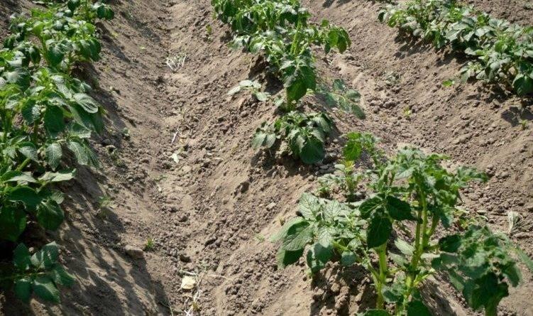 Посев картофеля