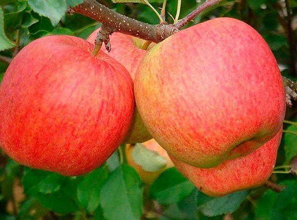 Сладкие осенние яблоки