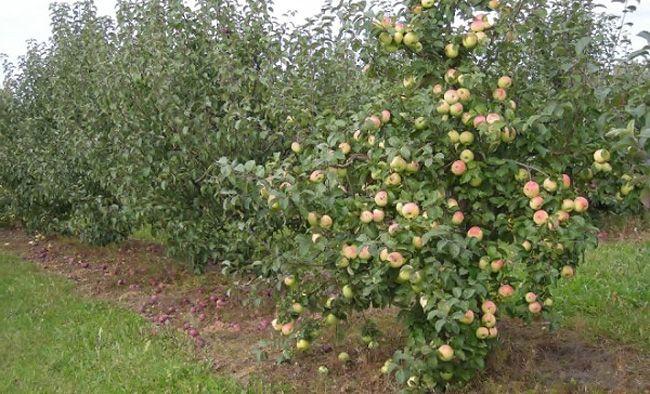 Яблоня кроха кустовая