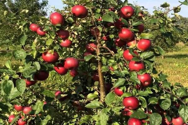 Колоновидные яблони летние сорта